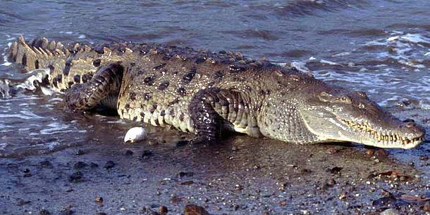 Крокодил Crocodylus_acutus