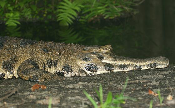 Крокодил Crocodylus_cataphractus