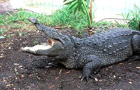 Крокодил Crocodylus_palustris