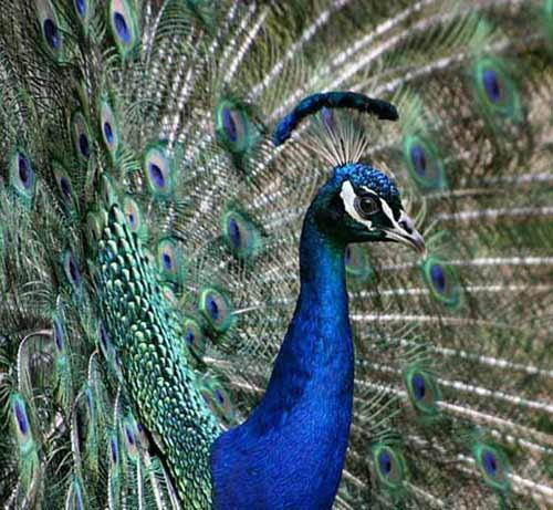 павлин птица фото
