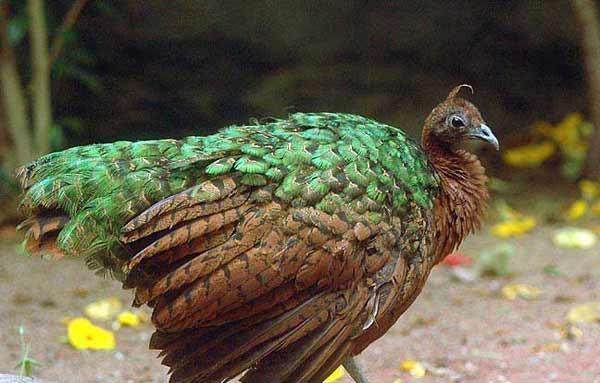 Павлины растут медленно, перья короны начинают появляться через месяц, полный...  Четыре тысячи лет назад павлины...