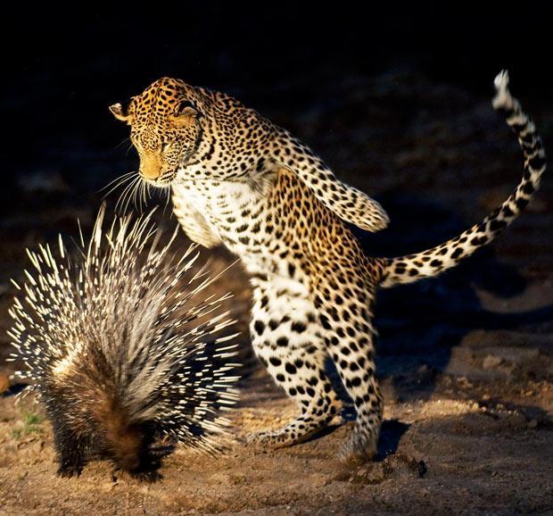Ягуар и дикобраз