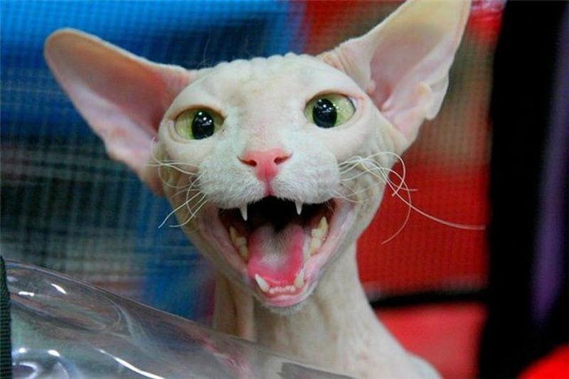 котенок фото сфинкс #10