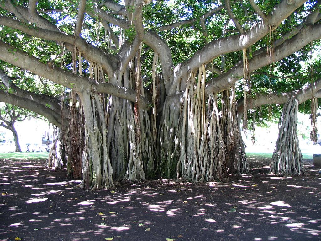 Banyan tree's aerial root system
