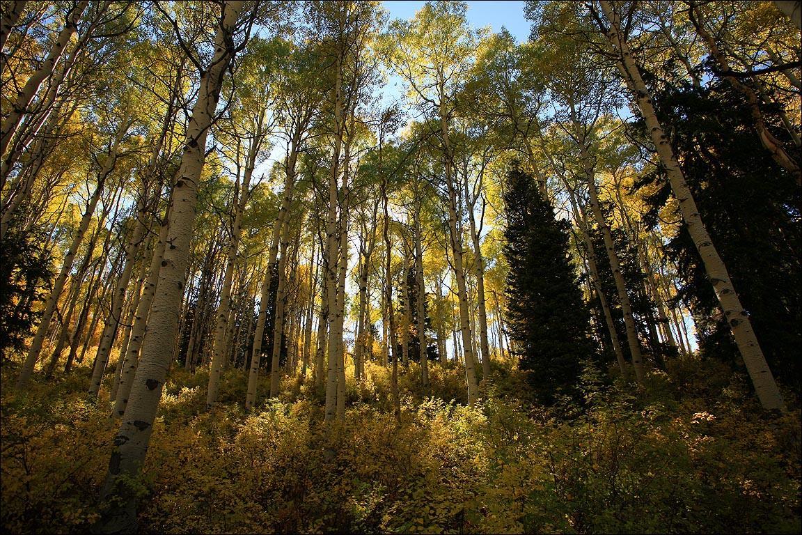 Quaking Aspen Grove