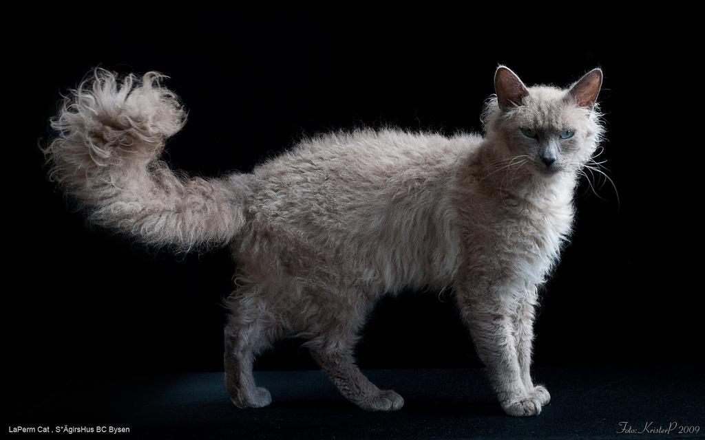 http://animalworld.com.ua/images/2010/June/Animals/LaPerm/LaPerm_5.jpg