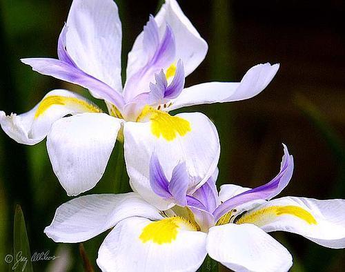 Ирис  имеет множество названий: Iris, касатик, петушок