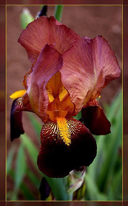 ����  ����� ��������� ��������: Iris, �������, �������