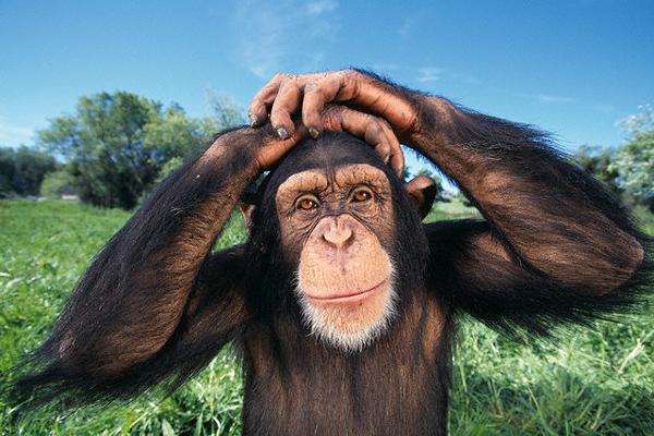 Картинки по запросу 14. Шимпанзе