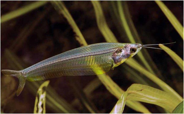 Прозрачный обитатель пресноводных аквариумов - стеклянный сомик.