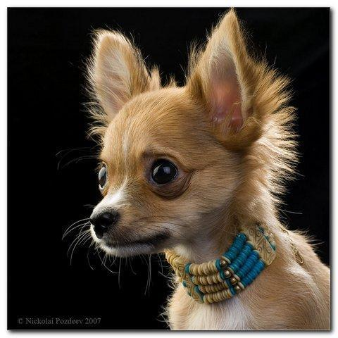 фото собака тонки