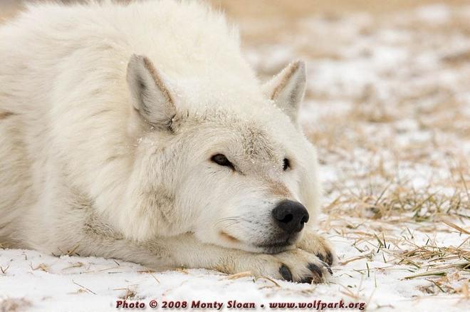 Серые обитатели лесов волки