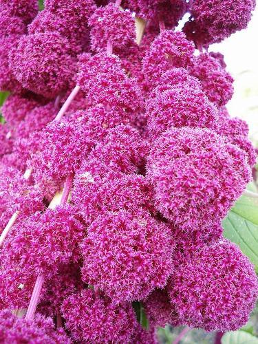 Амарант - неувядающий цветок