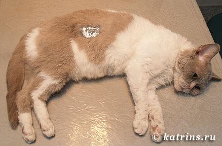 Кот после кастрации швы