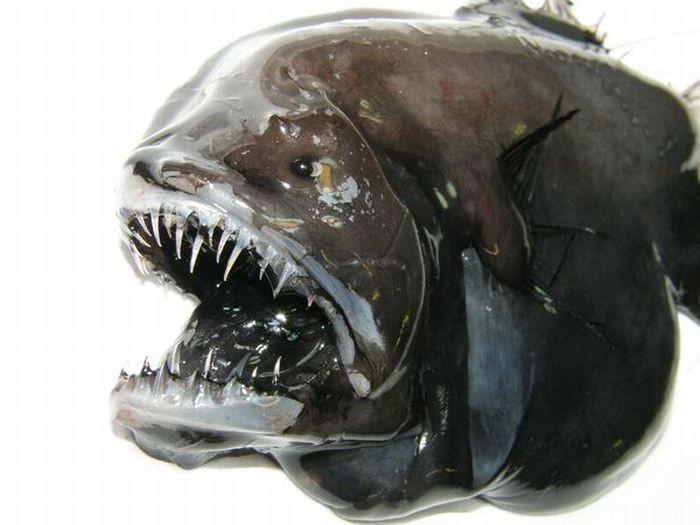 Глубоководные рыбы монстры