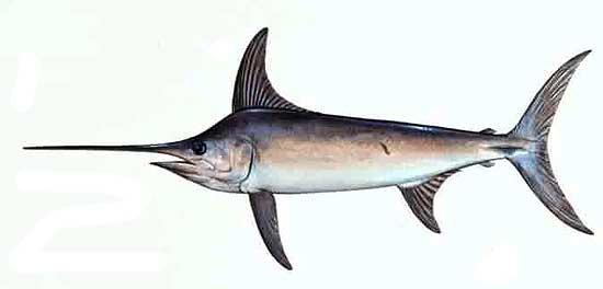 Меч-рыба получила свое название благодаря сильно удлиненной и уплощенной