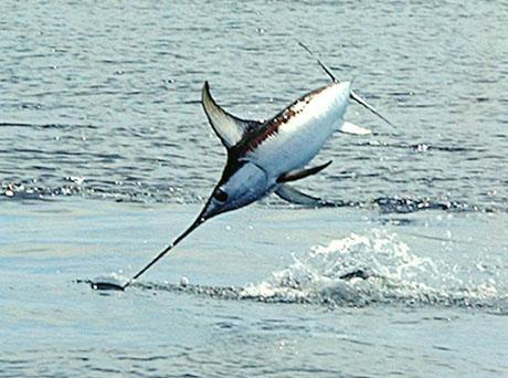 Ему довелось разбираться со случаем, когда меч-рыба атаковала деревянное