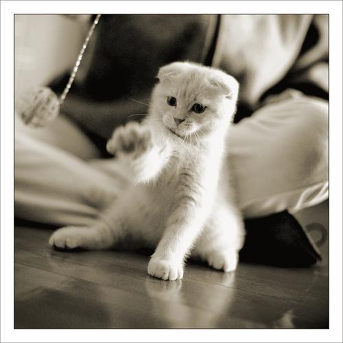 Шотландская вислоухая кошка scottish fold