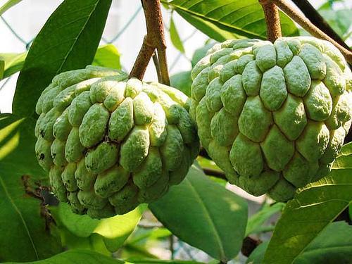 Сахарное яблоко или Аннона чешуйчатая (лат. Annona squamosa)
