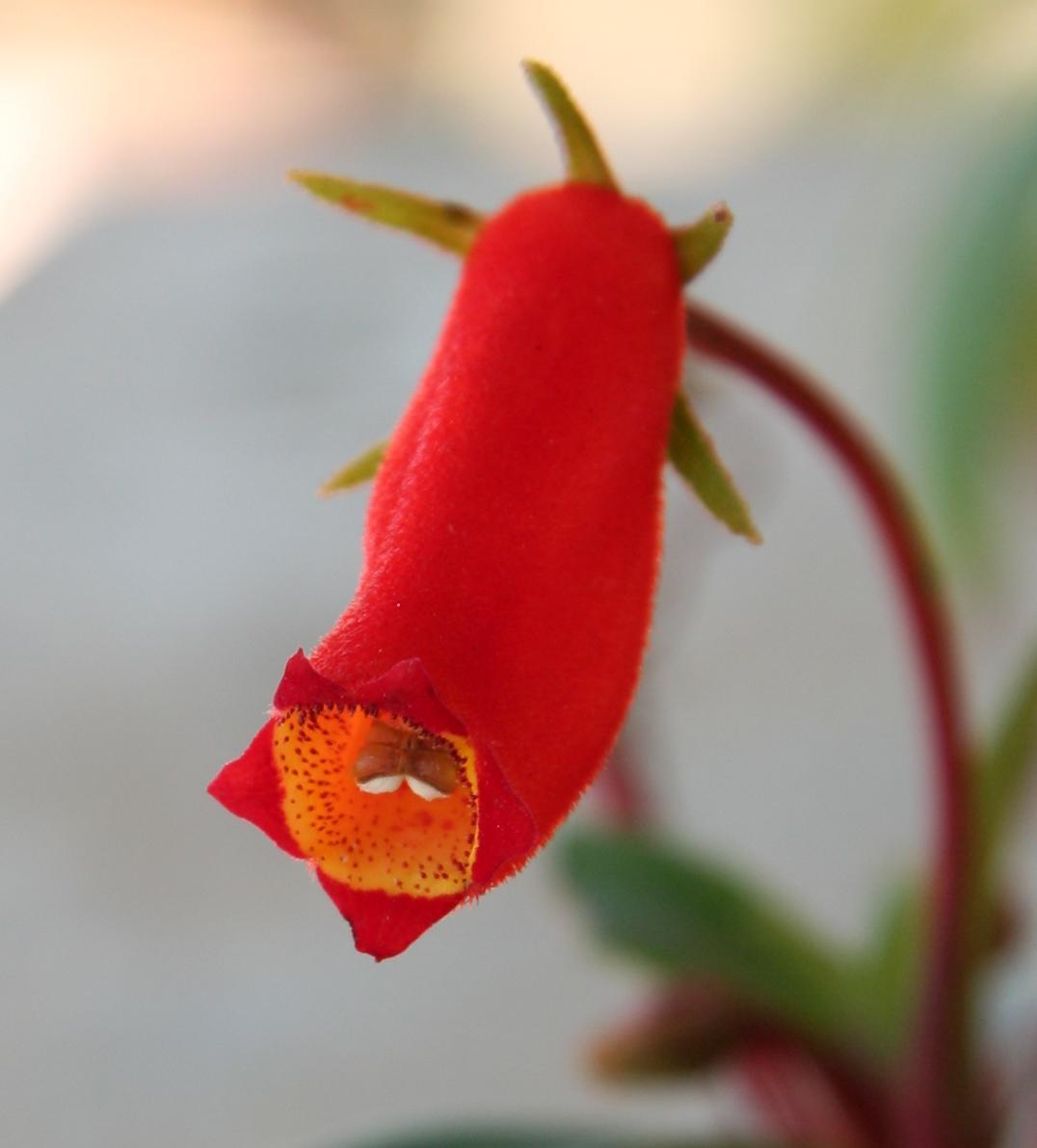 Глоксиния (Gloxinia), или Синнингия (Sinningia)