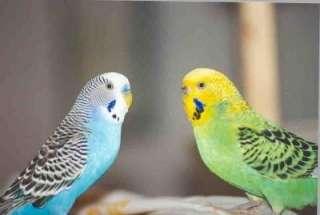 как приучить попугая к поиске