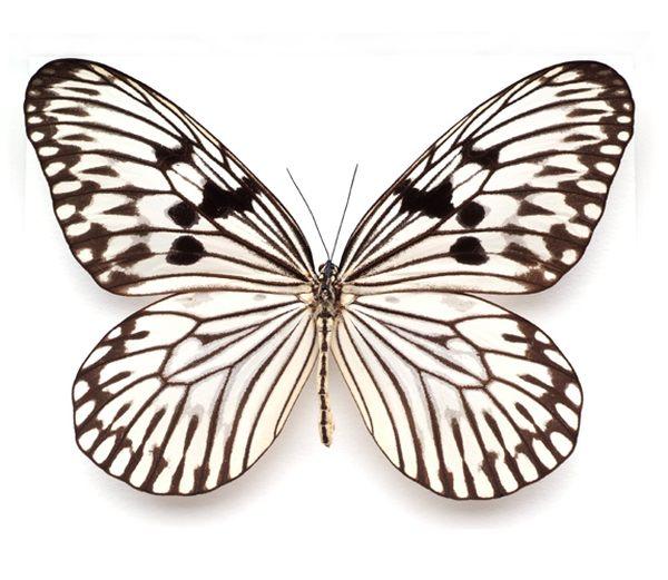 Чешуекрылые, или бабочки