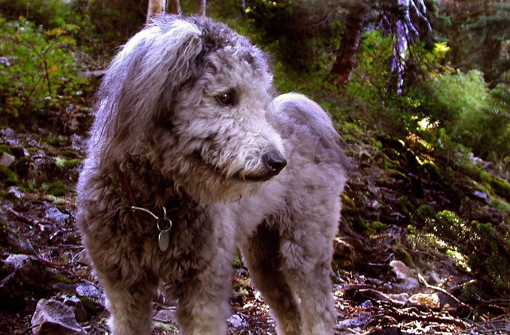 Порода собак пуми pumi