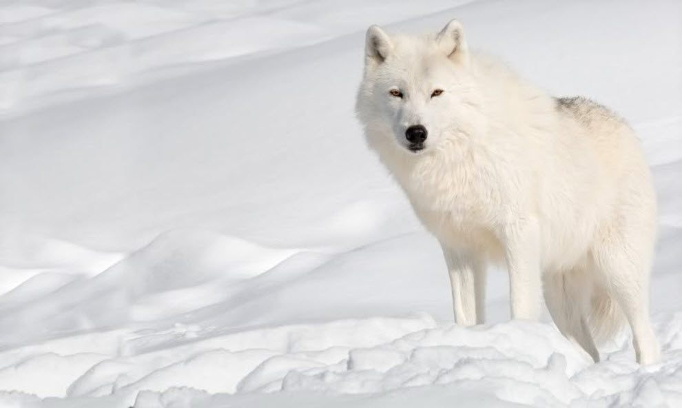 http://animalworld.com.ua/images/2010/September/Animals/Canis/Canis_20.jpg