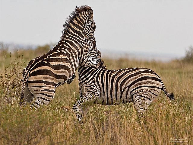 почему зебры убивают своих детенышей