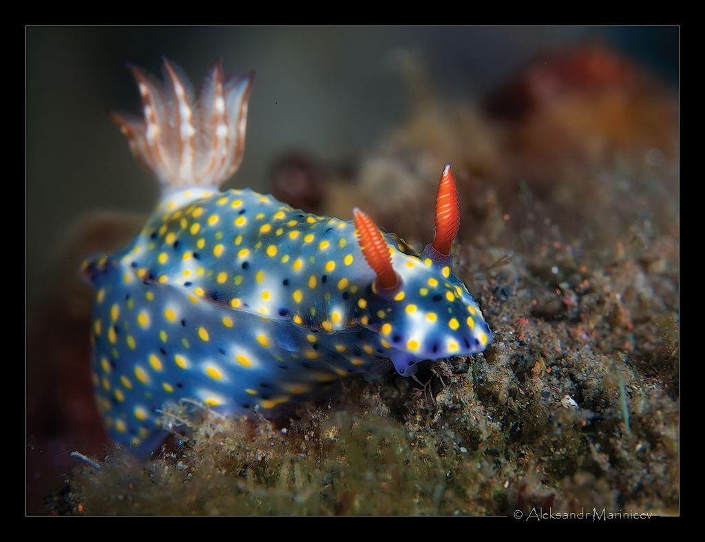Голожаберный моллюск hypselodoris infucata