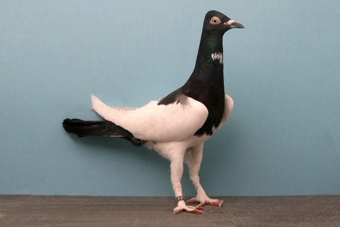 Декоративные породы голубей