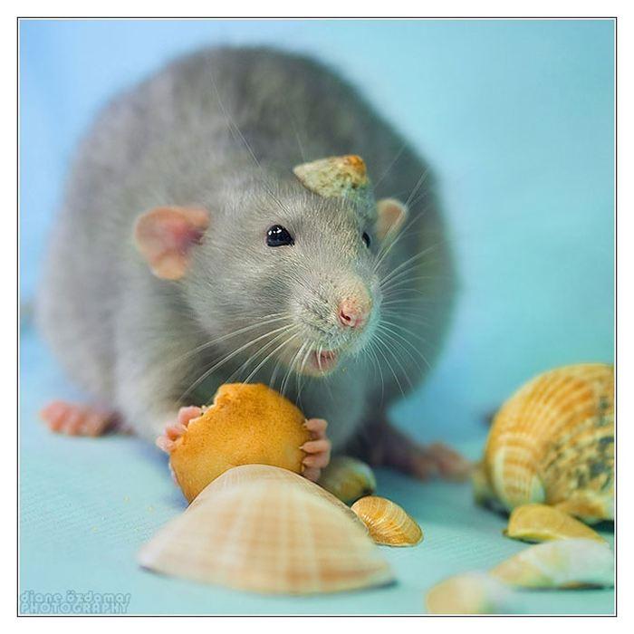 Крыски от Дианы Оздамар (Diane Ozdamar)