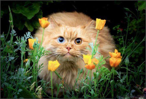 Красивая персикового цвета кошка, обои с кошками 98
