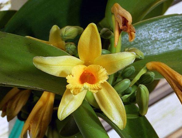 растение ваниль фото