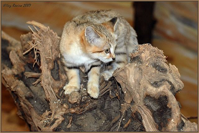 Барханный кот, или песчаный кот, или барханная кошка (лат. Felis margarita