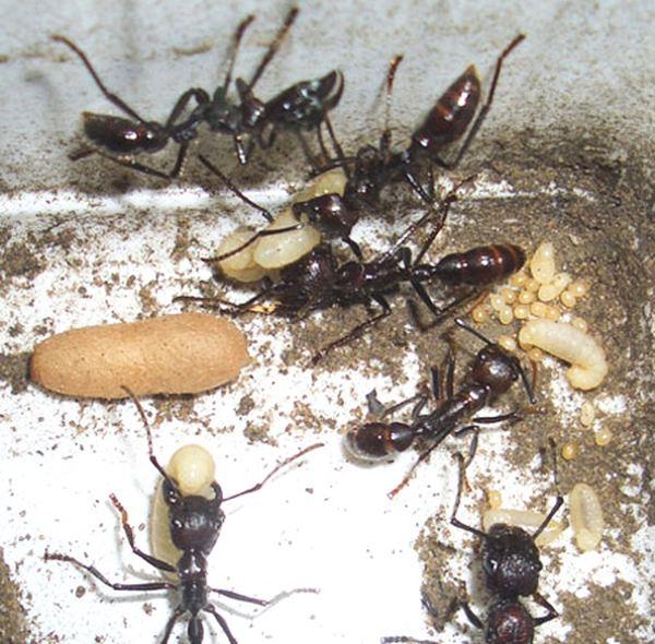 Paraponera clavata, или муравей-пуля.
