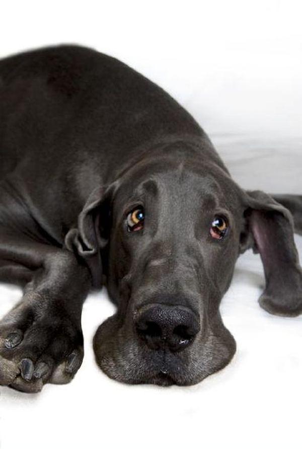 Голубой дог по кличке Джордж (George) - самая большая собака в мире