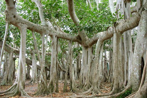 Фикус Бенгальский (Ficus benghalensis)