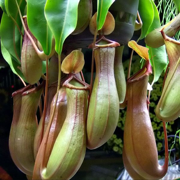 Непентес (Nepenthes)