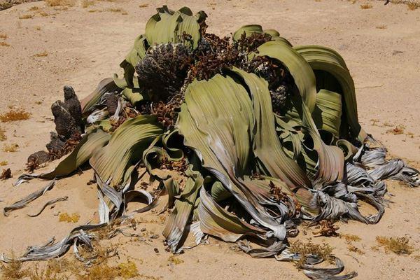 Вельвичия удивительная (Welwitschia mirabilis)