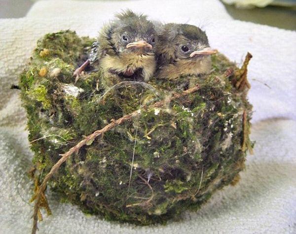 Кошка принесла домой гнездо с живыми птенцами