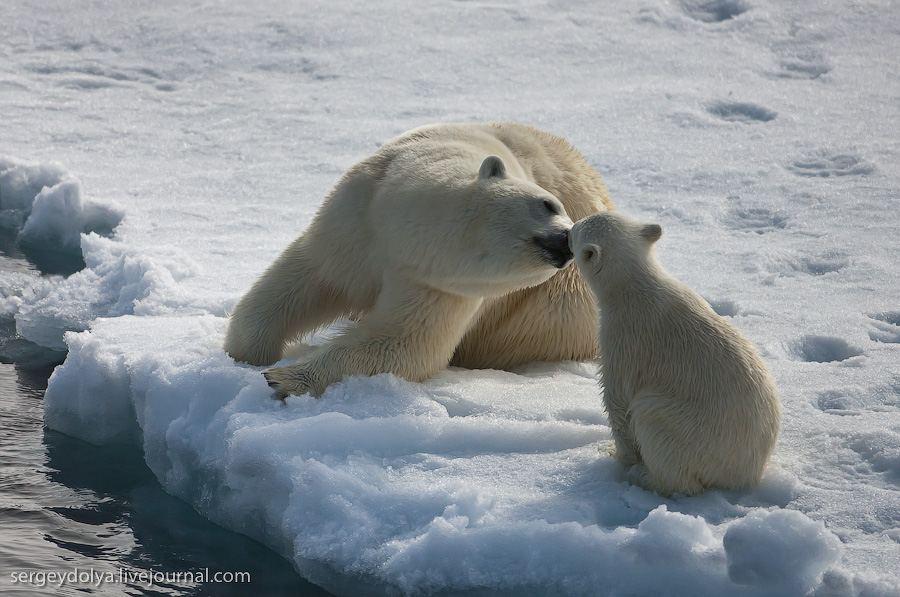 Любопытная медведица с медвежонком