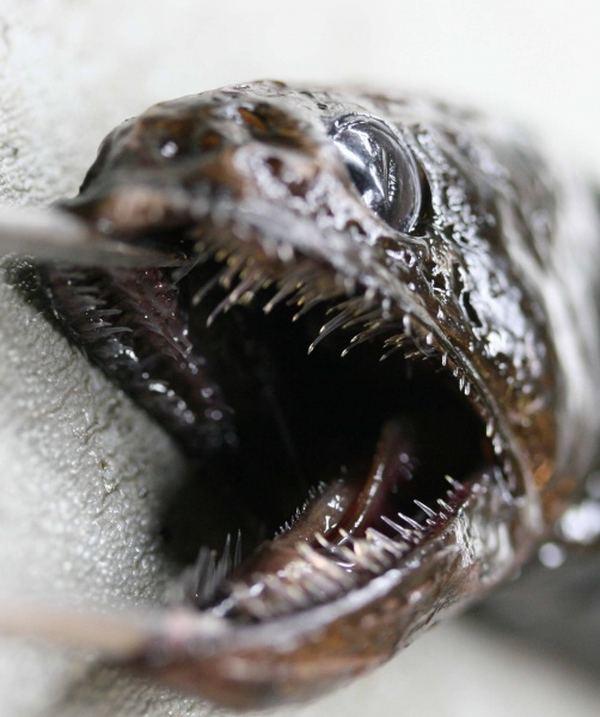 Живоглотовые или Хиазмодовые (лат. Chiasmodontidae ... заглатывать