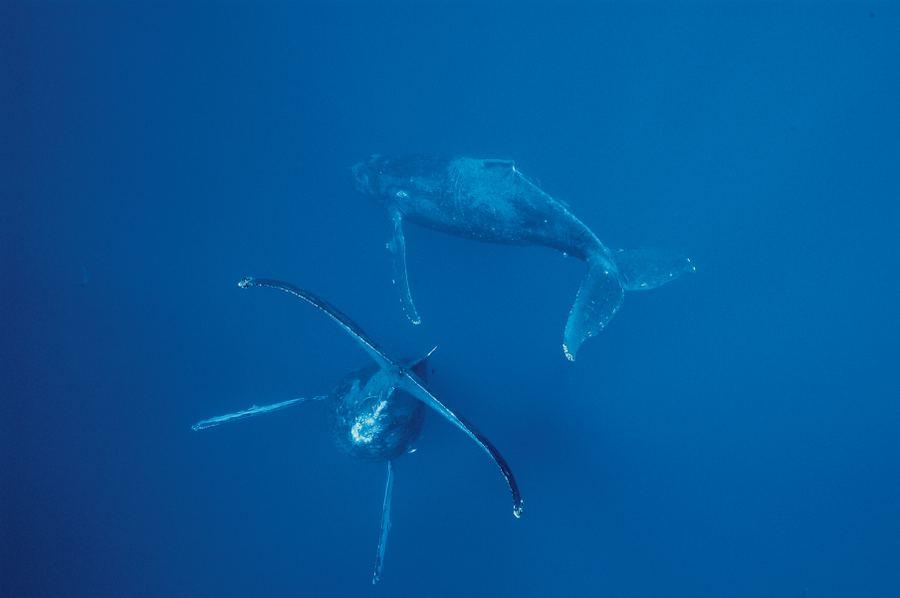 Горбатые киты на Гавайях