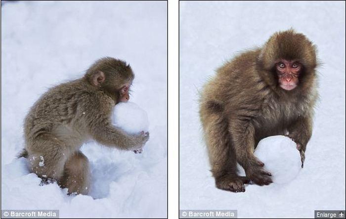 Японские макаки обожают играть в снежки