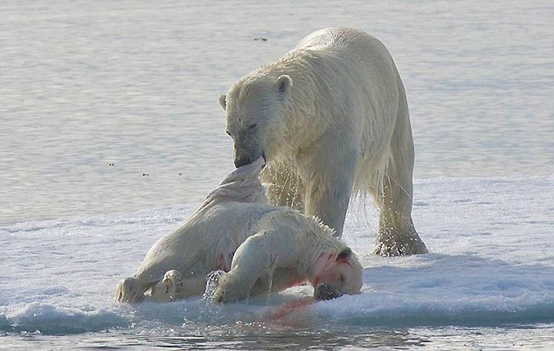 видео белые медведи едят людей