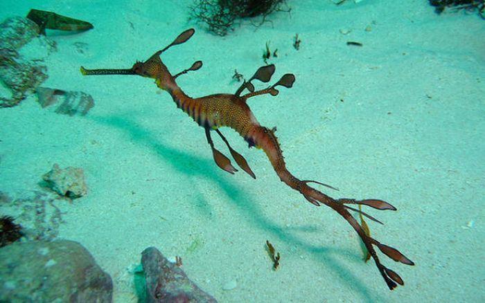Лиственный морской дракон, или Морской пегас (лат. Phycodurus eques)