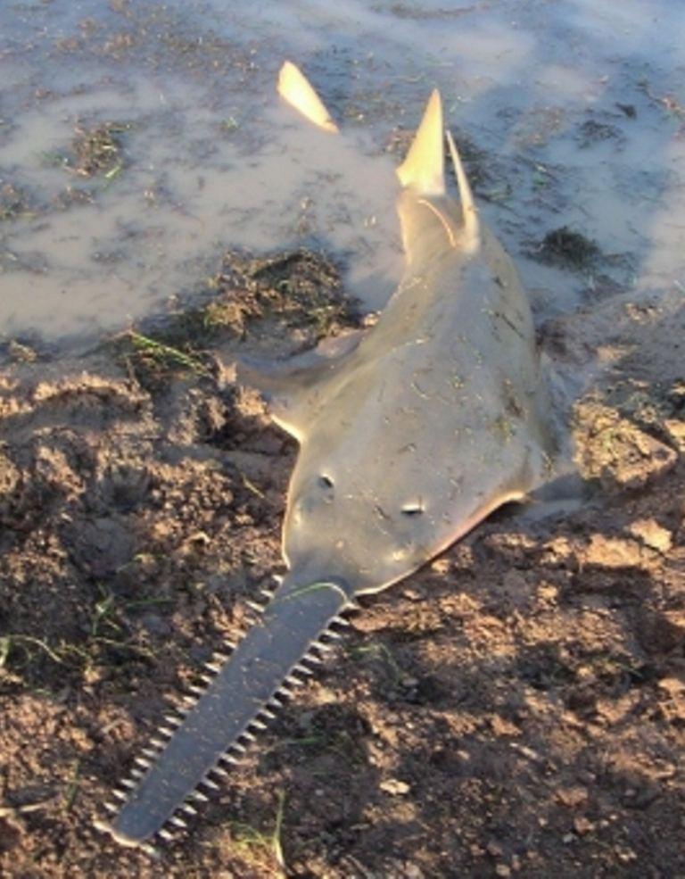 http://animalworld.com.ua/images/2011/February/Akva/Pristidae/Pristidae_6.jpg