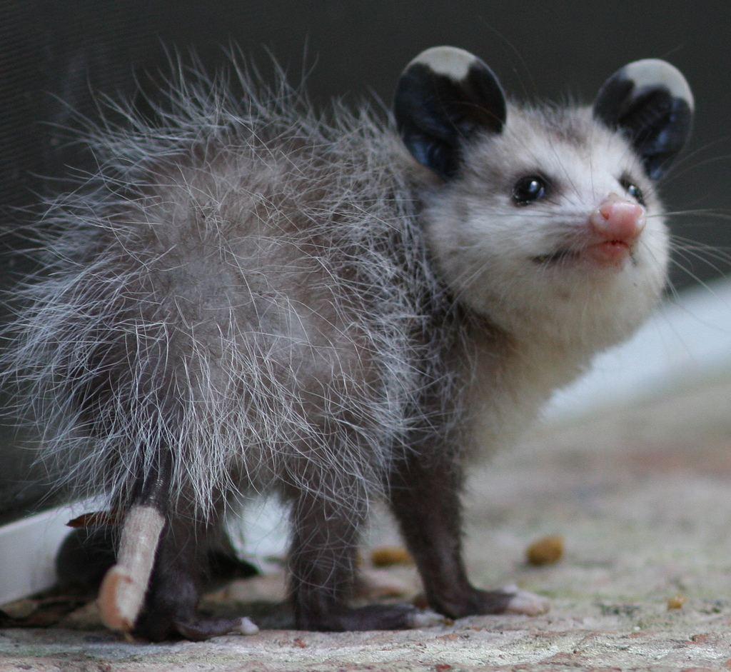 http://animalworld.com.ua/images/2011/January/Animals/1/opossum.jpg