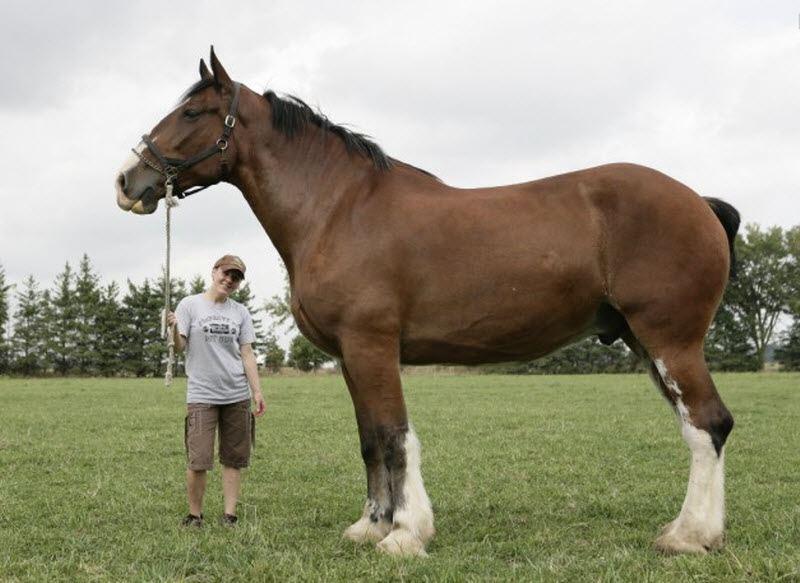 Рост коня по кличке по составляет 2 08 м